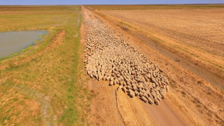 Austalian farm with sheeps